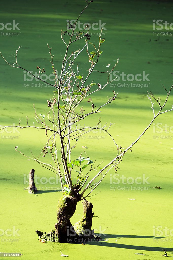 Tree stump with branches in pond overgrown by duckweed stock photo