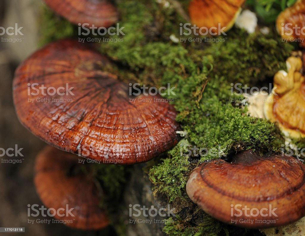 A tree stump with growing Linzhi mushrooms stock photo