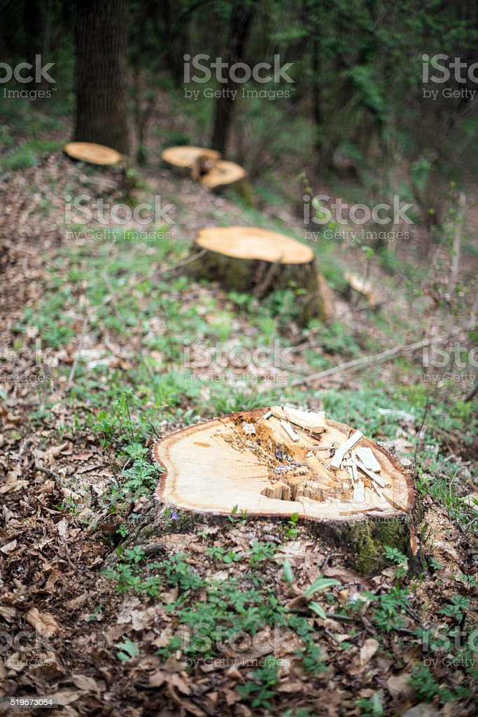 Tree stumps in the forest stock photo
