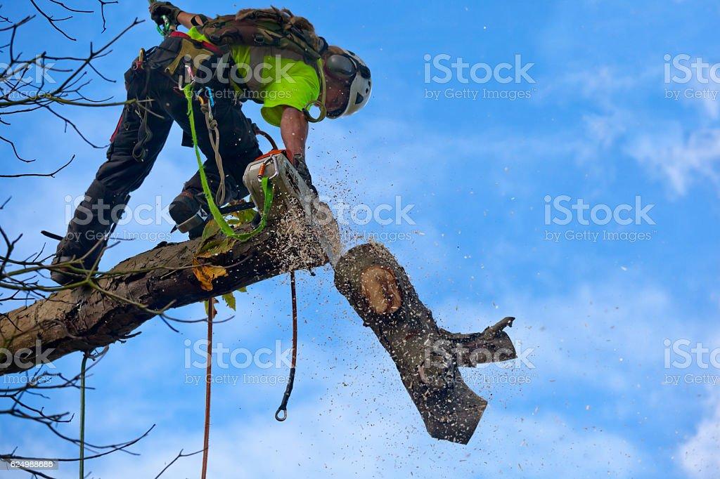 Tree Surgeon Cuts Bough of Diseased Chestnut stock photo