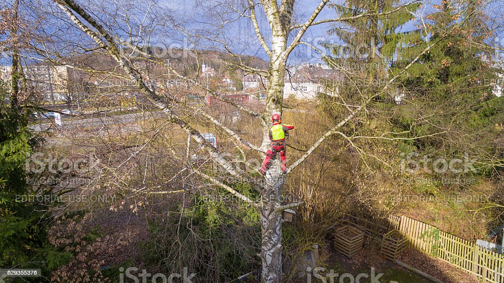 Tree surgeon hanging from ropes using  chainsaw  cut branches down stock photo