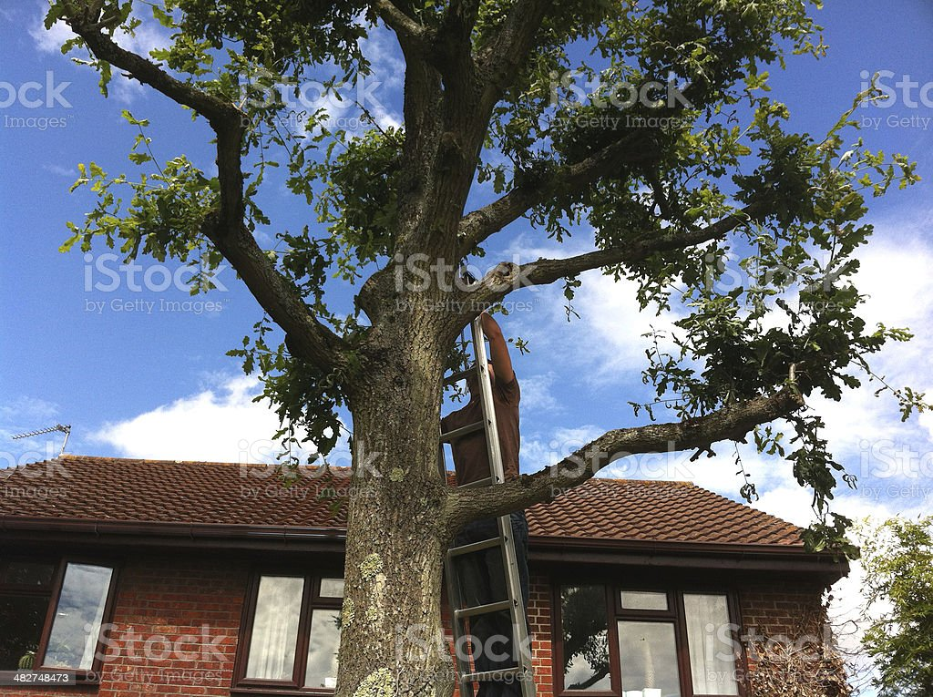 Tree surgeon pruning oak in the summer stock photo