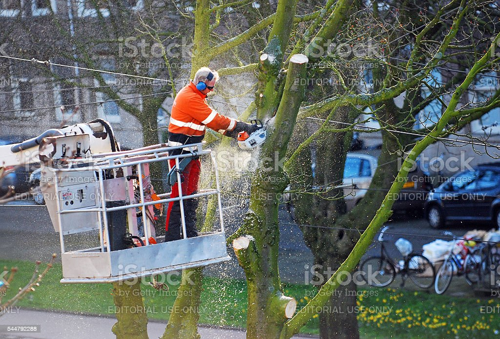 Tree surgeon Triming an Elm branches stock photo