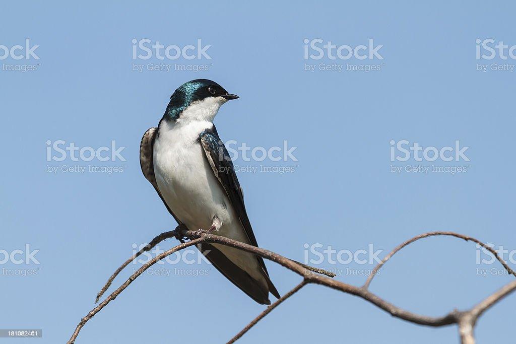 Tree Swallow (Tachycineta bicolor) Head Turned stock photo