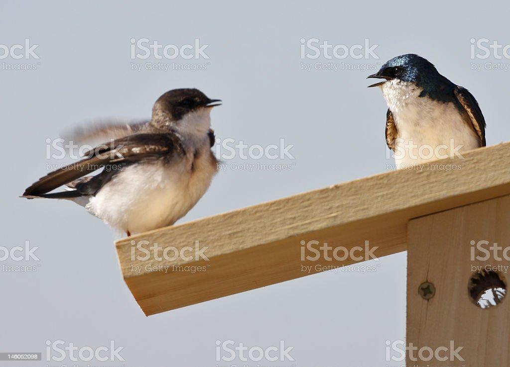 Tree Swallow(iridoprone bicolor) stock photo