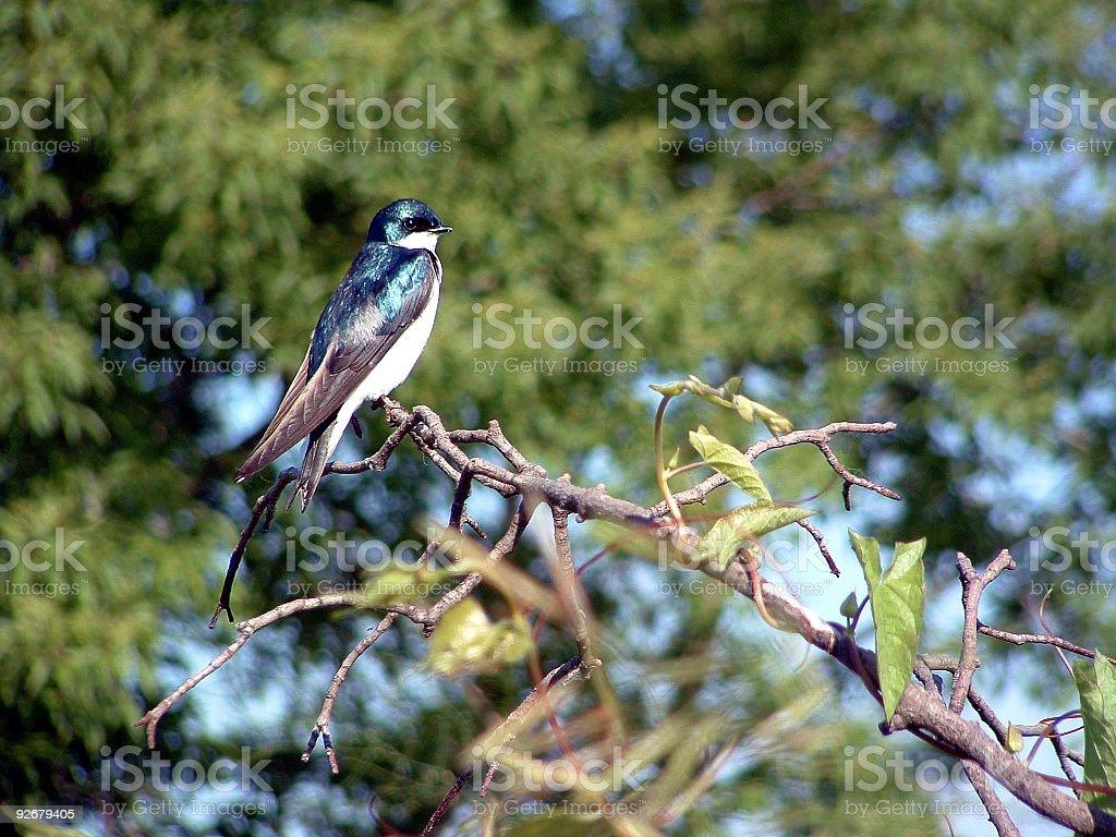 Tree Swallow royalty-free stock photo