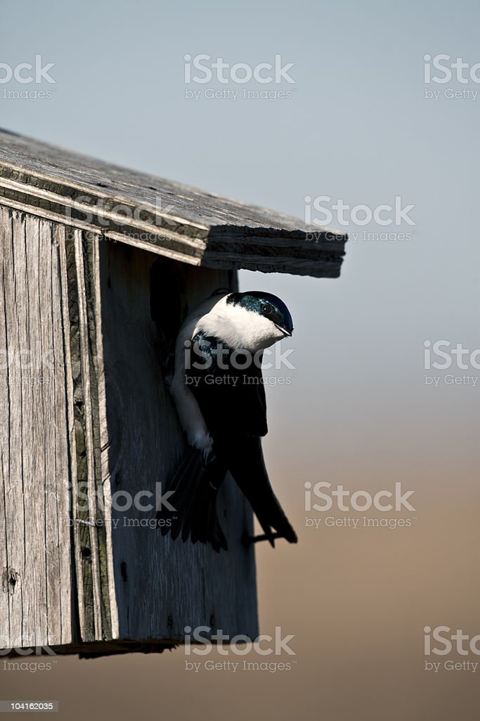 Tree Swallow(iridoprone bicolor stock photo