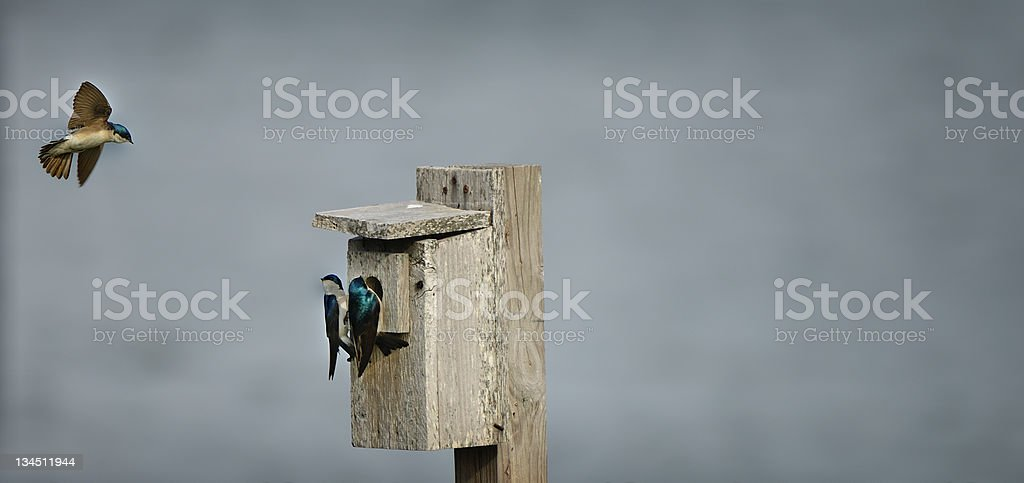 Tree Swallows in Jamaica Bay, Queens, New York City stock photo