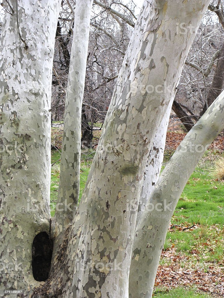 Tree Sycamore Trunk Close Up stock photo