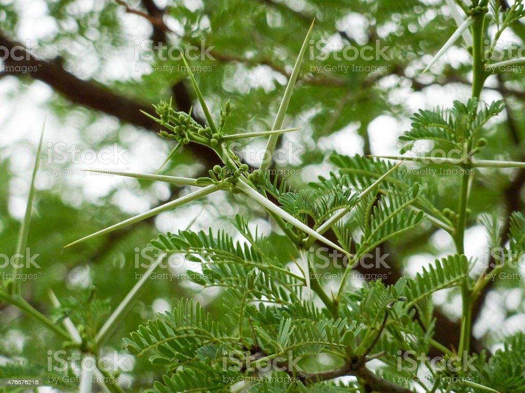 Tree Thorns stock photo