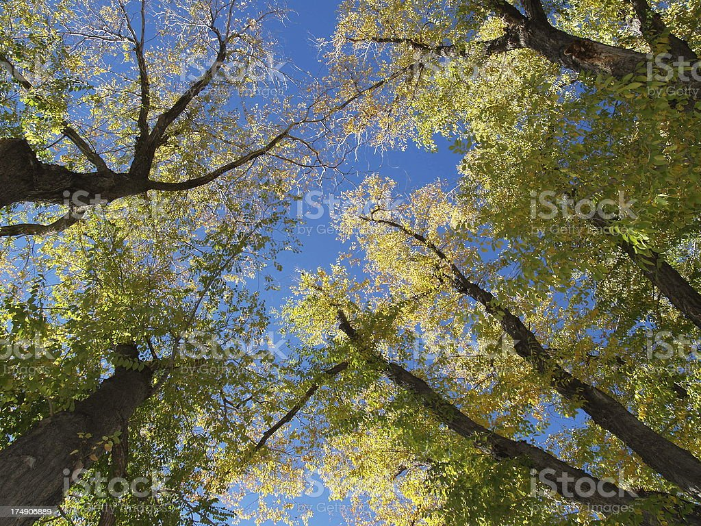 Tree Tops in early Fall royalty-free stock photo
