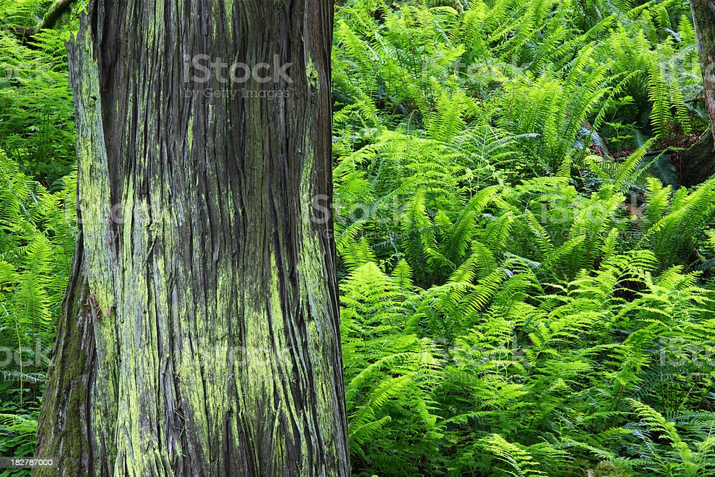Tree Trunk Fern Forest. royalty-free stock photo