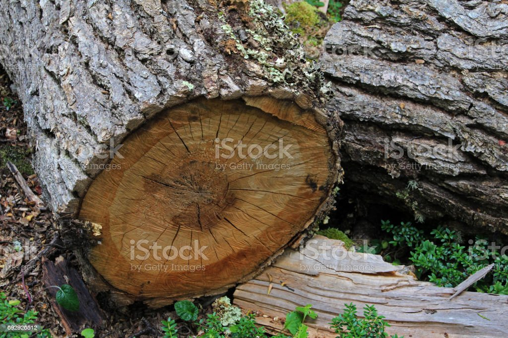 Tree trunk in lenga beech tree forest, Nothofagus Pumilio, Reserva Nacional Laguna Parrillar, Chile stock photo