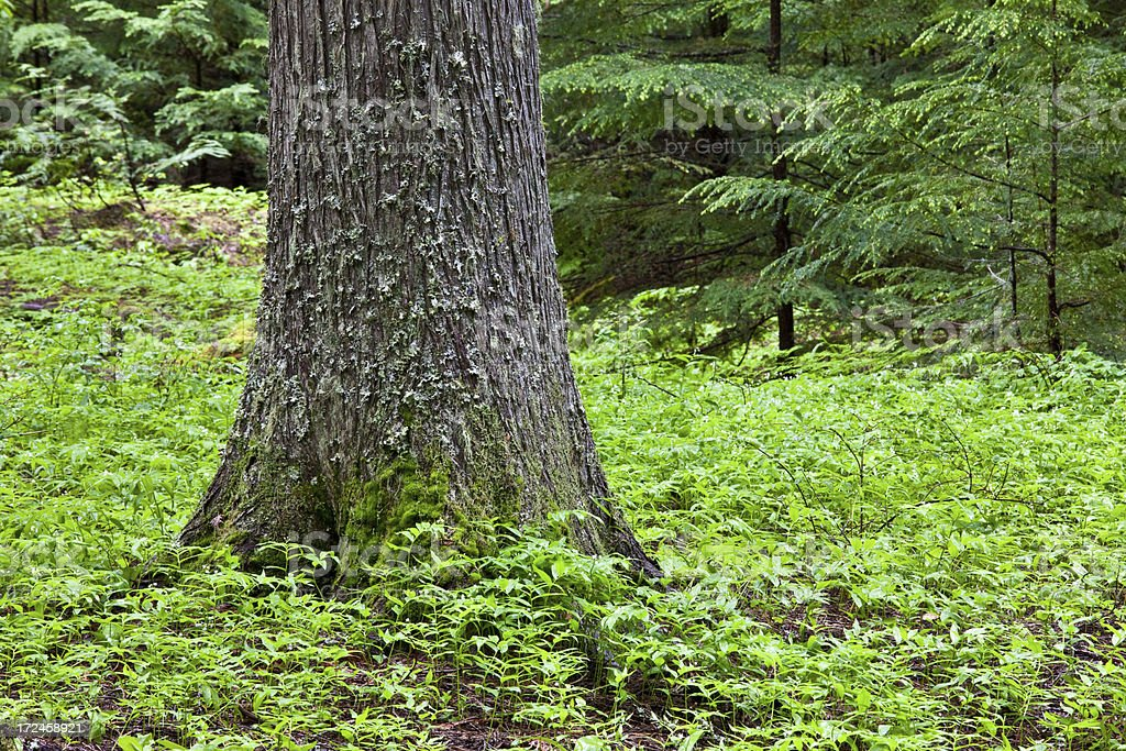 Tree Trunk in the Forest with Ferns royalty-free stock photo