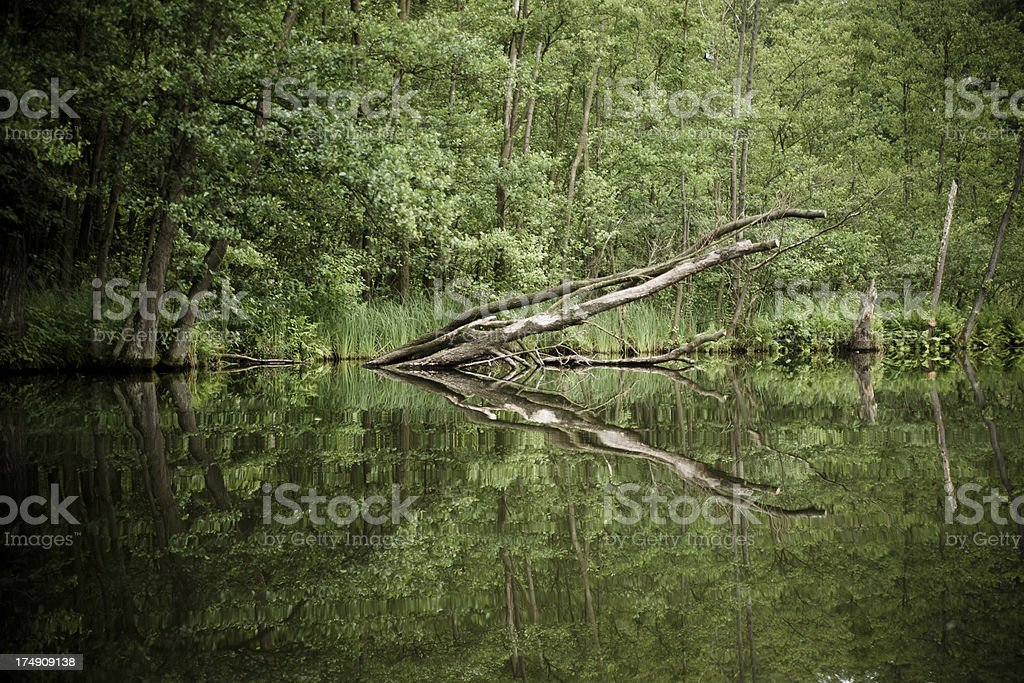 Tree trunk with reflection royalty-free stock photo