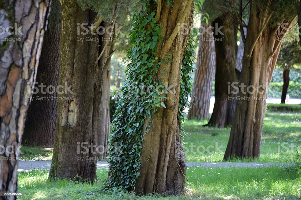 Tree trunks and ivy in the old park stock photo