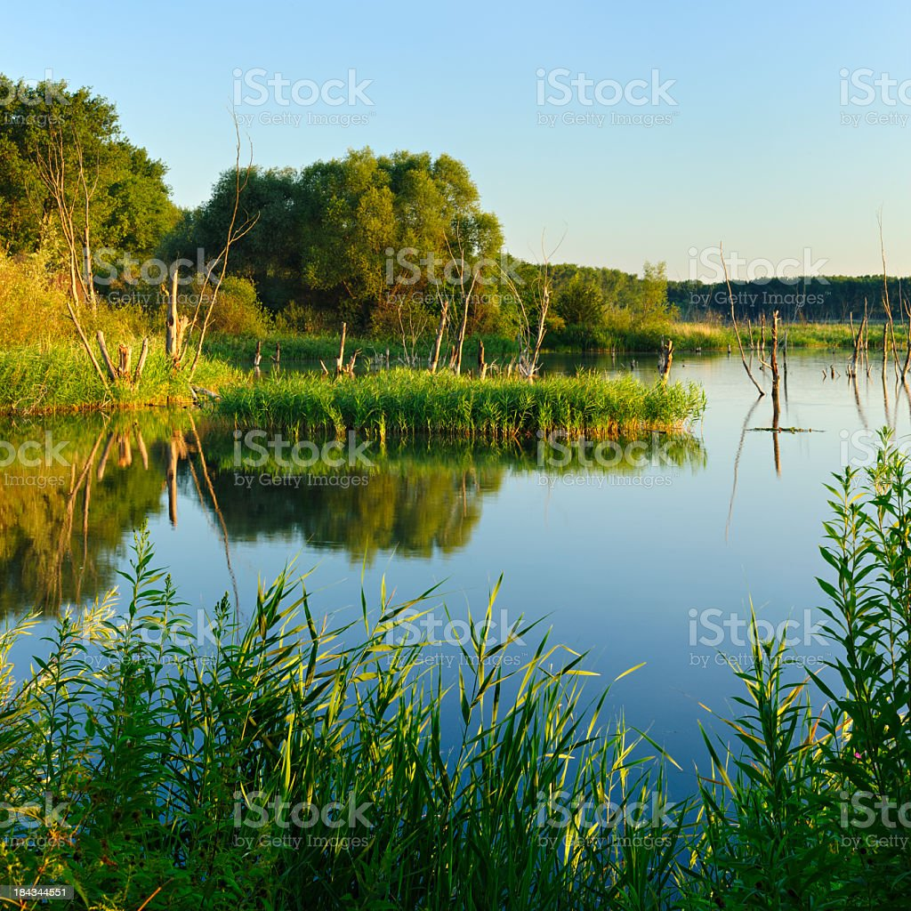 Tree Trunks in Calm Lake at Dawn royalty-free stock photo