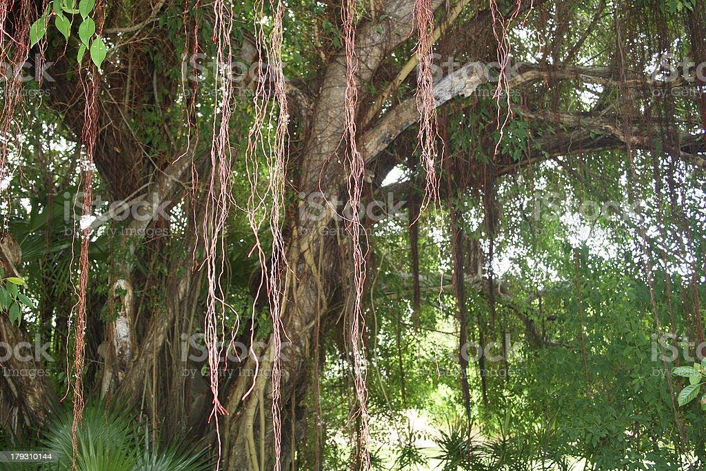 Tree Vines stock photo