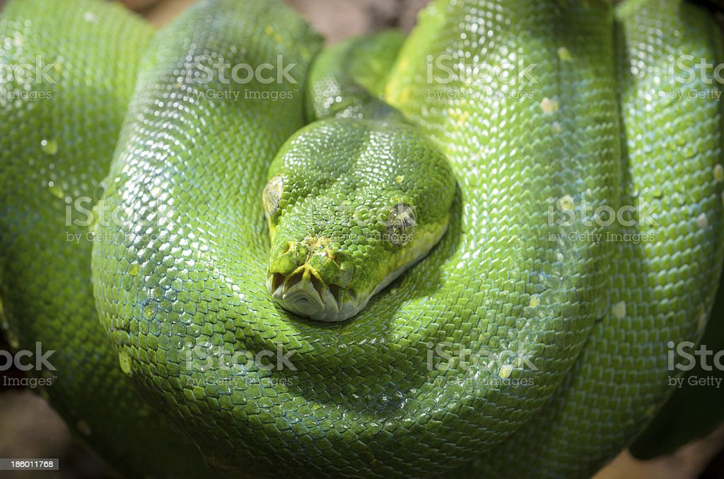 Tree Viper royalty-free stock photo