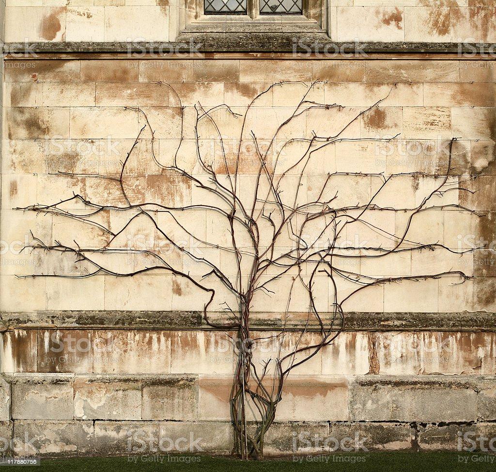 Tree vs wall - Creeper plant growing on stone wall royalty-free stock photo