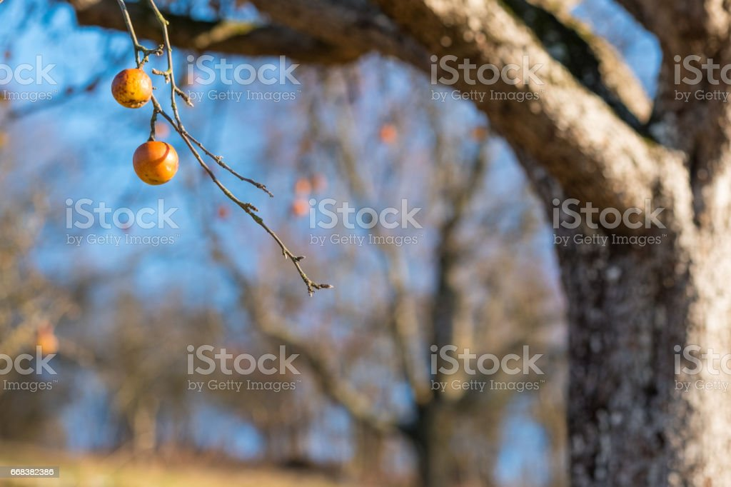 Tree with apples in an orchard in Germany stock photo