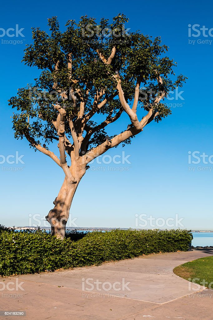 Tree with Background of San Diego Bay stock photo