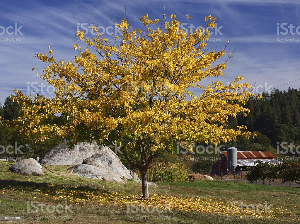 Tree with fall colors in California stock photo