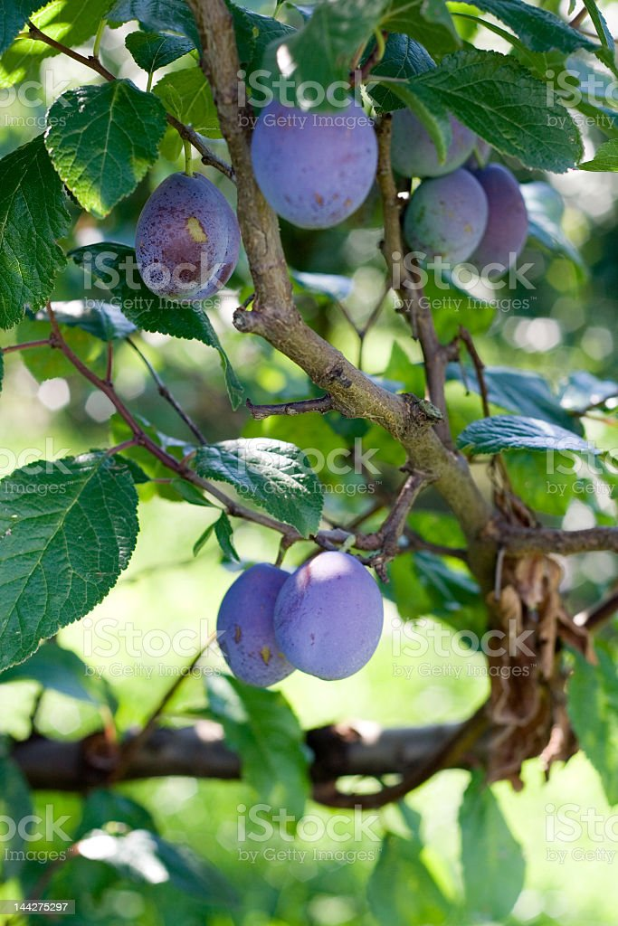 A tree with fresh plums ready for picking royalty-free stock photo