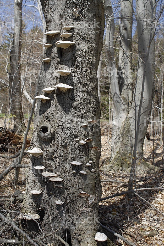 Tree with Fungus Steps stock photo