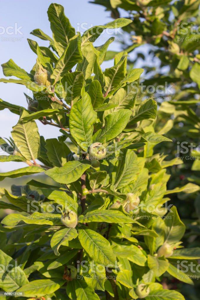 Tree with green medlars stock photo