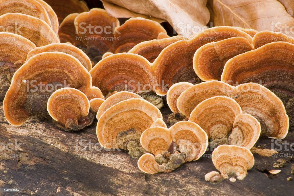 Tree with Grifola frondosa Hen of the woods growing on it stock photo