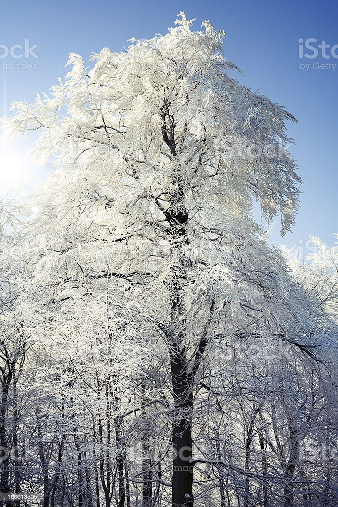 Tree with hoar frost royalty-free stock photo