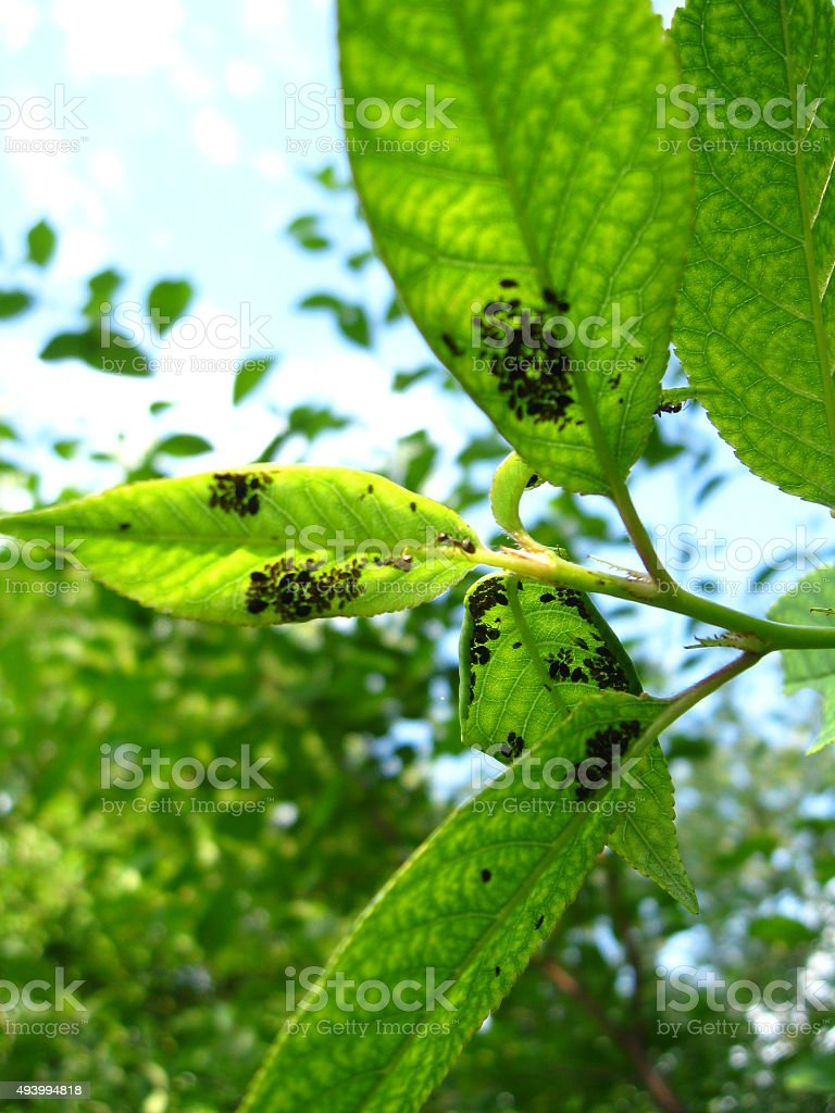 Tree with leaves full of a plant louse stock photo