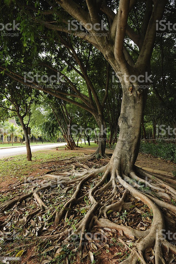 A tree with long roots at a park stock photo