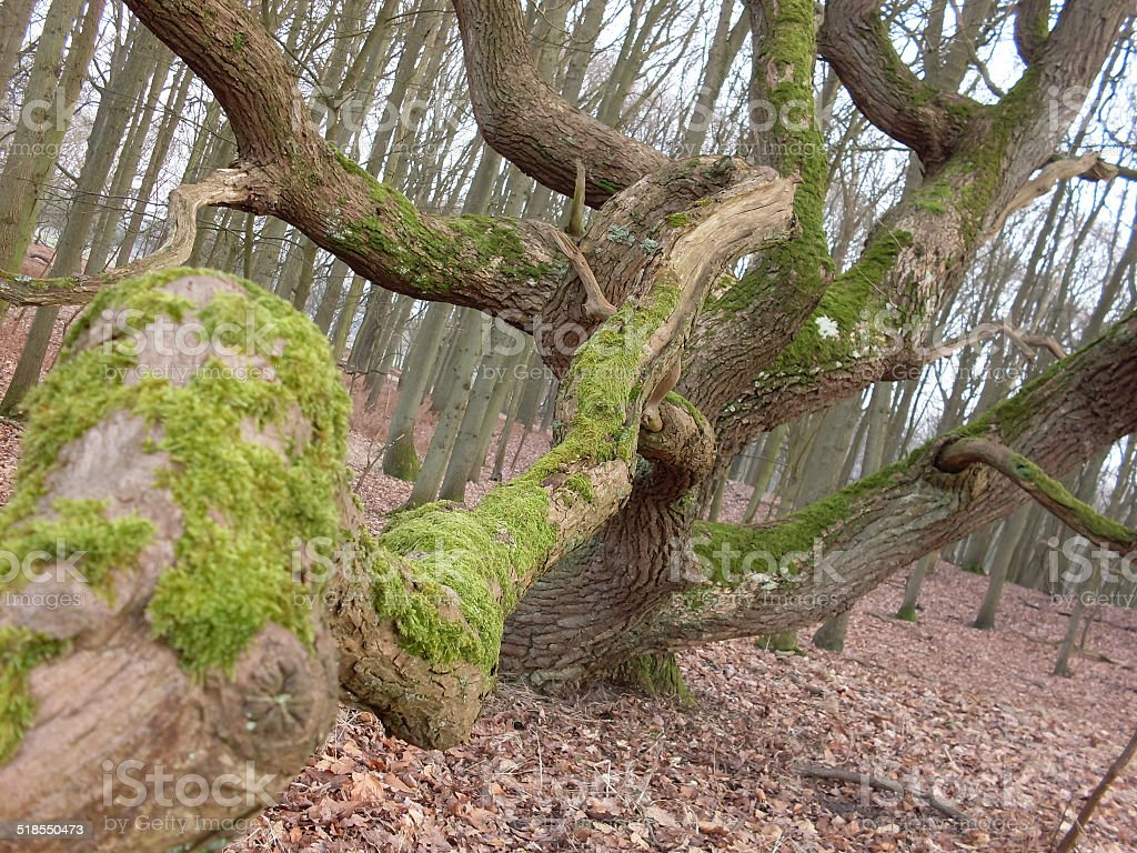 Tree with moss in the dune area in Holland royalty-free stock photo
