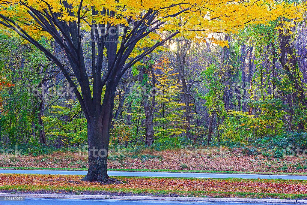 Tree with multiple trunks and yellow foliage near the road. stock photo