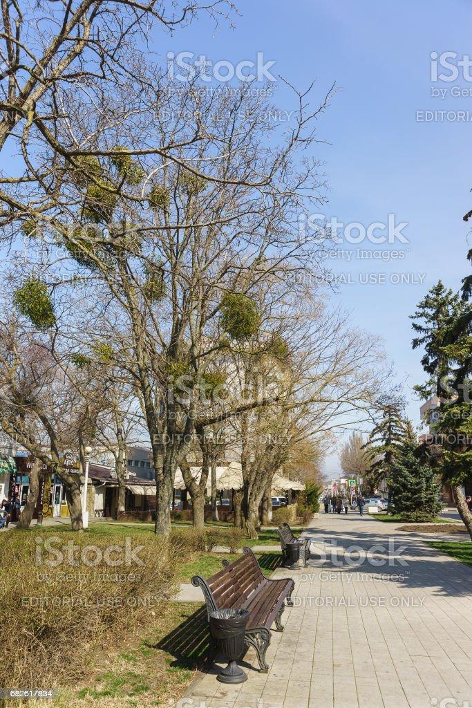 Tree with parasitic plant Mistletoe (lat. Víscum) in the city Park stock photo