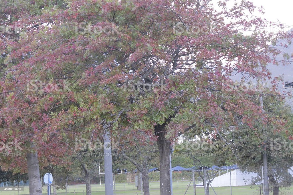 Tree with Red foliage stock photo