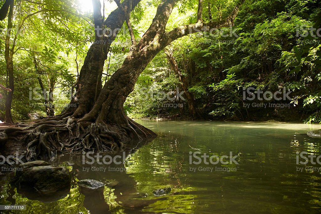 Tree with roots on the banks of the tropical river stock photo