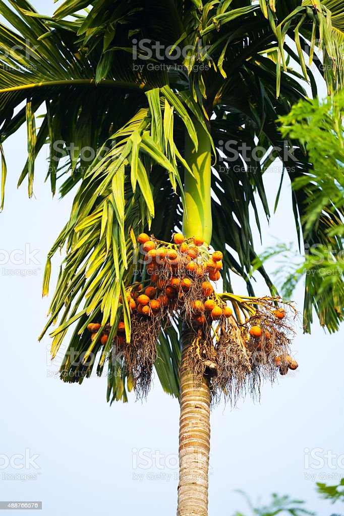 Tree with sapodilla fruits stock photo
