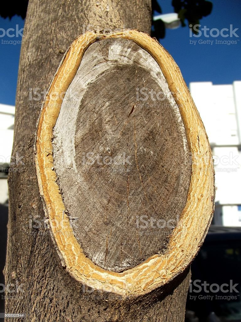Tree with  Severed Branch stock photo