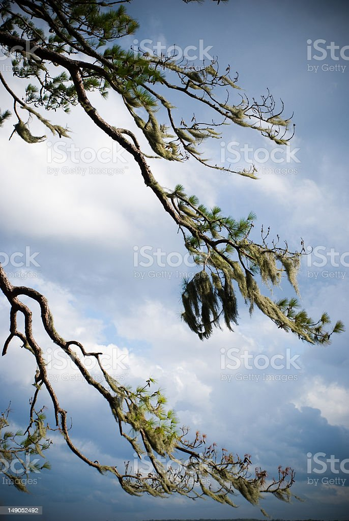 Tree with Spanish Moss and Encroaching Storm royalty-free stock photo