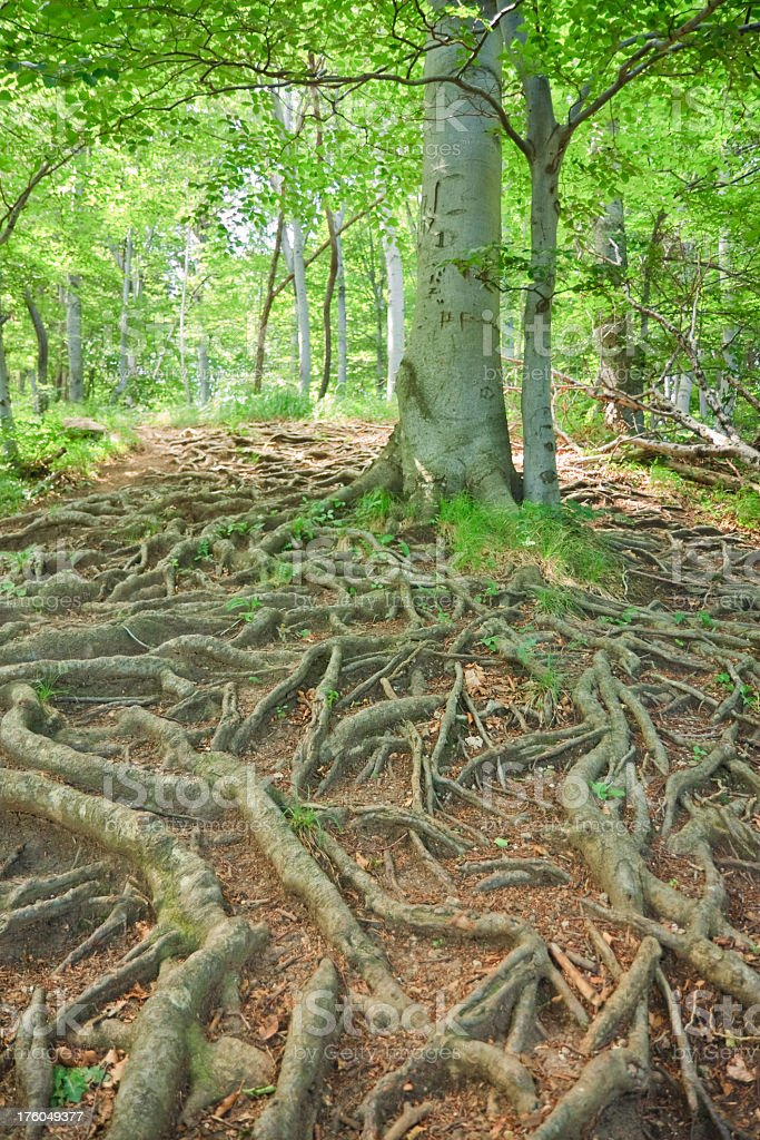 Tree with spreading roots stock photo