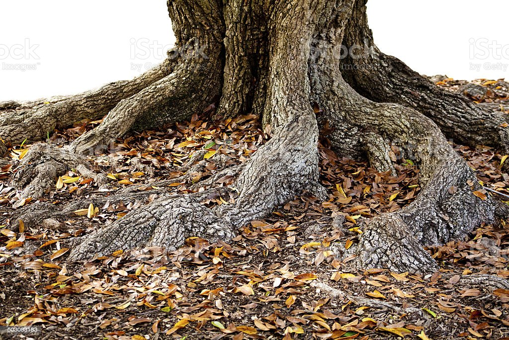 tree with spreading roots royalty-free stock photo