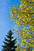Tree with yellow leaves against blue sky