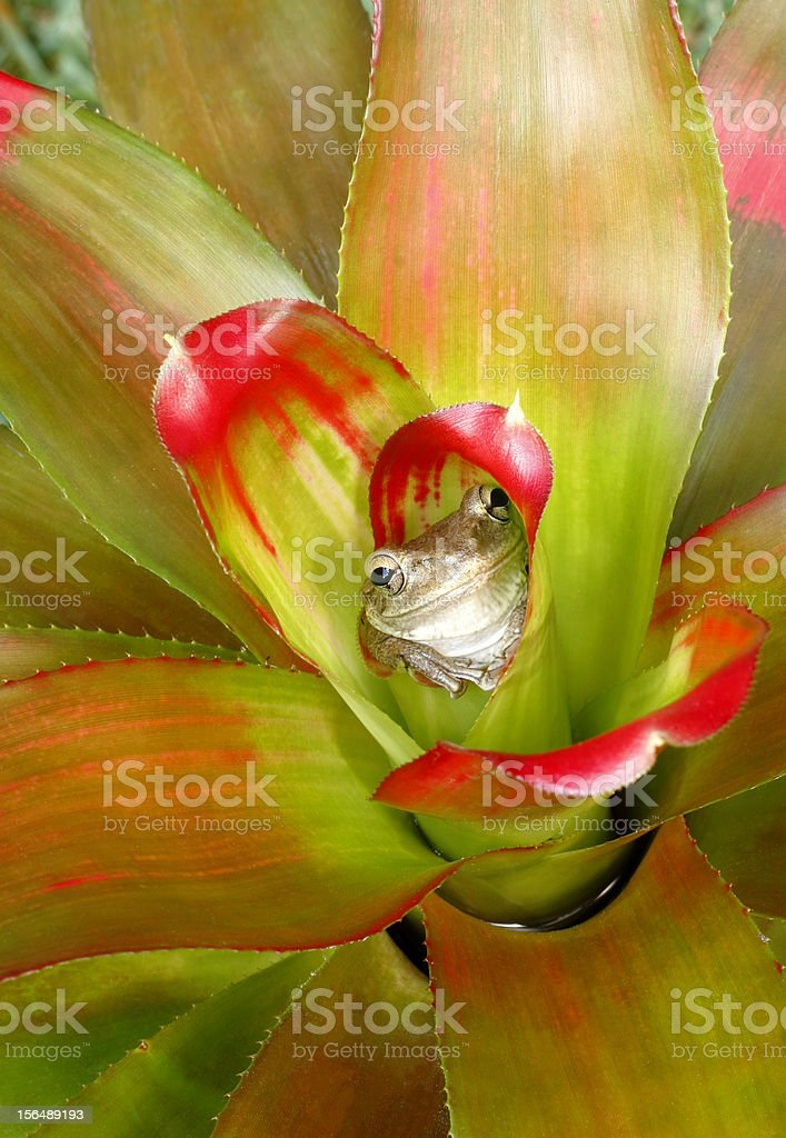 Treefrog Hiding in a Colorful Bromeliad stock photo