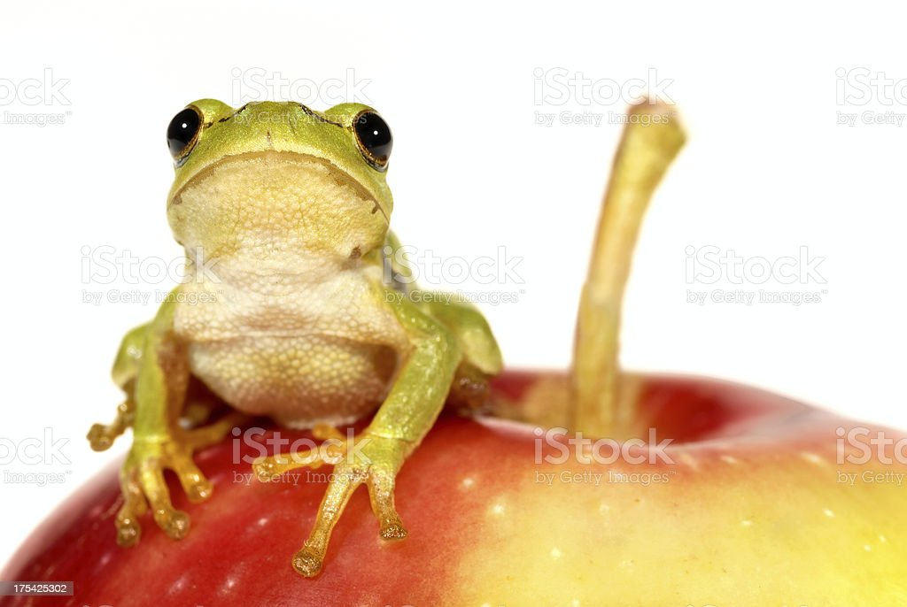 Tree-frog on apple - close-up royalty-free stock photo