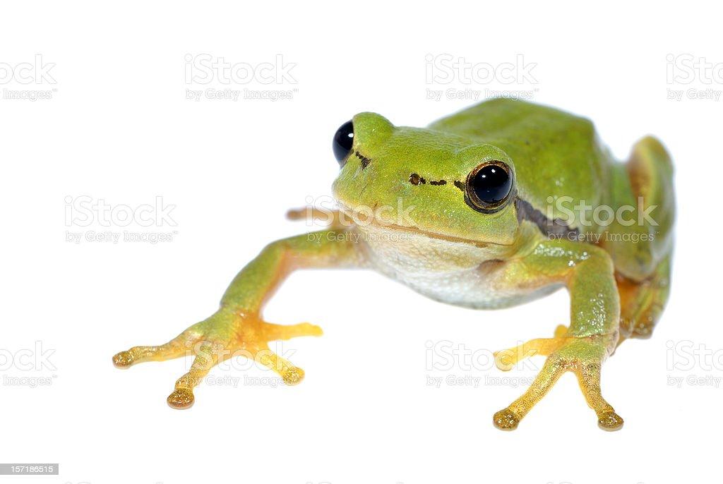Tree-frog on white background - close-up stock photo
