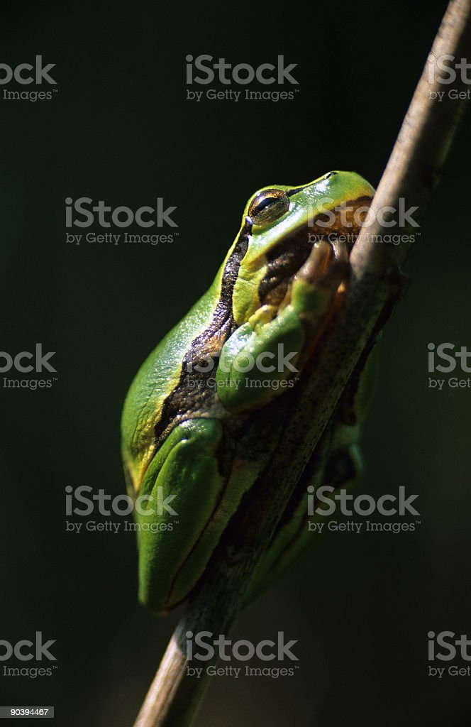Tree-frog royalty-free stock photo