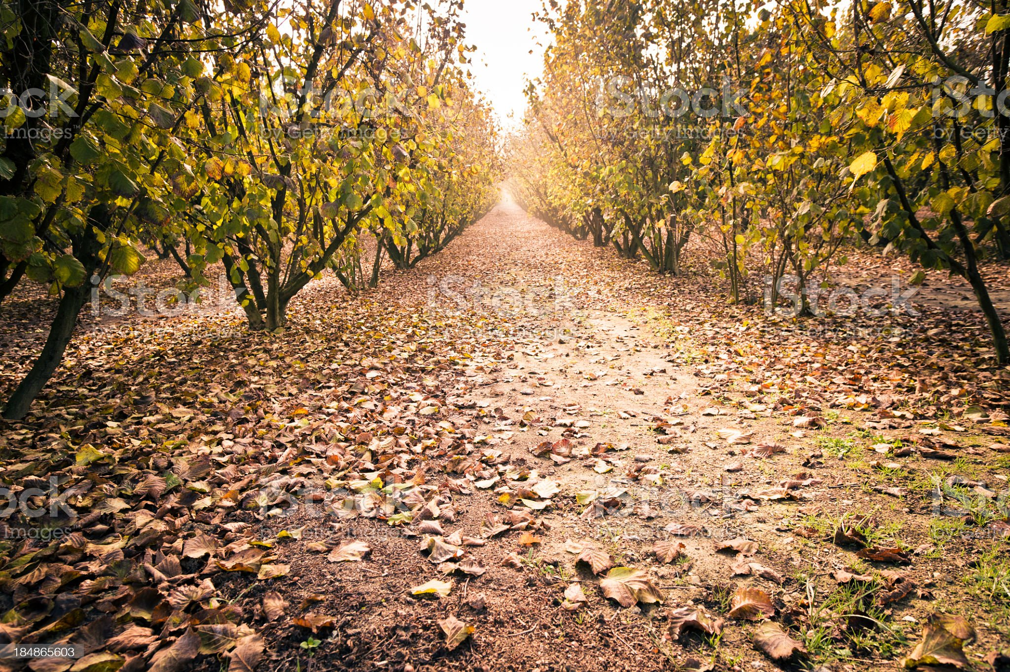 Treelined Dirt Road, Langhe, Piedmont, Italy royalty-free stock photo